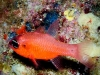 xlendi_tunnel_gozo_cardinal_fish