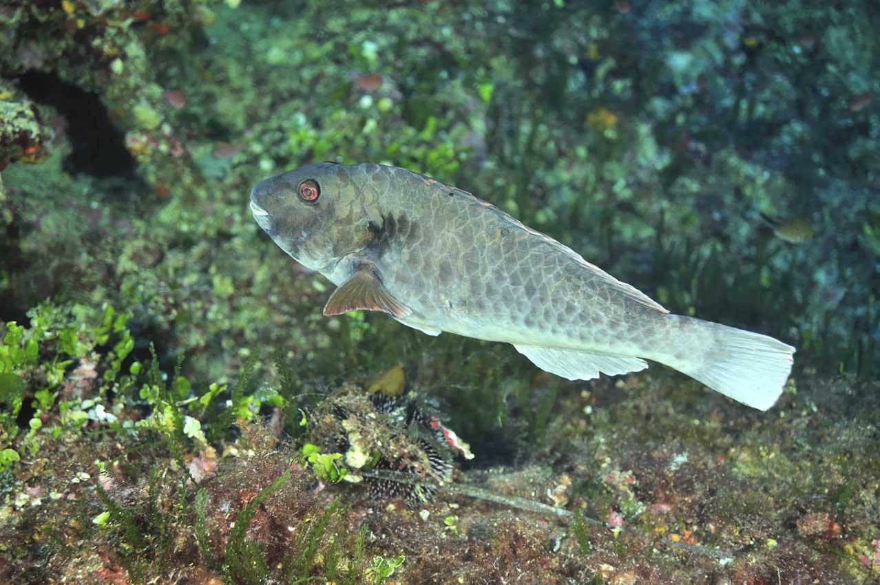 Un poisson-perroquet de Méditerranée mâle - A male European parr