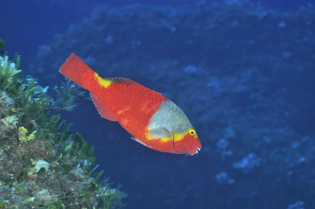 Un poisson-perroquet de Méditerranée femelle - A female European