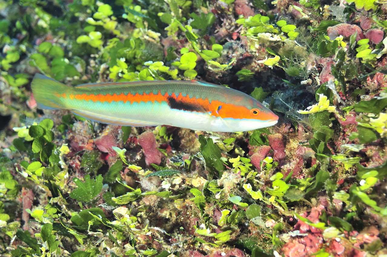 Une girelle ou demoiselle mâle - A male Mediterranean rainbow wr