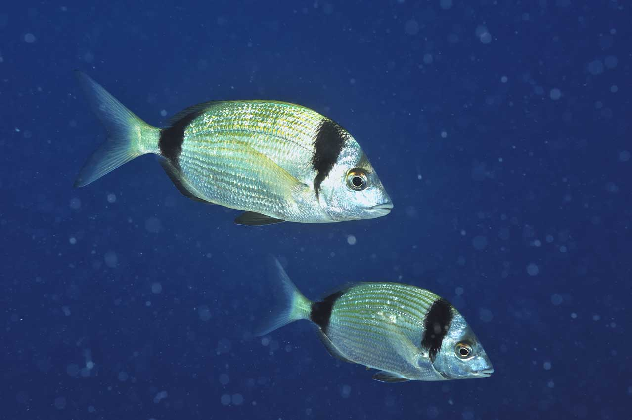 Deux sars à tête noire - Two common two-banded sea breams