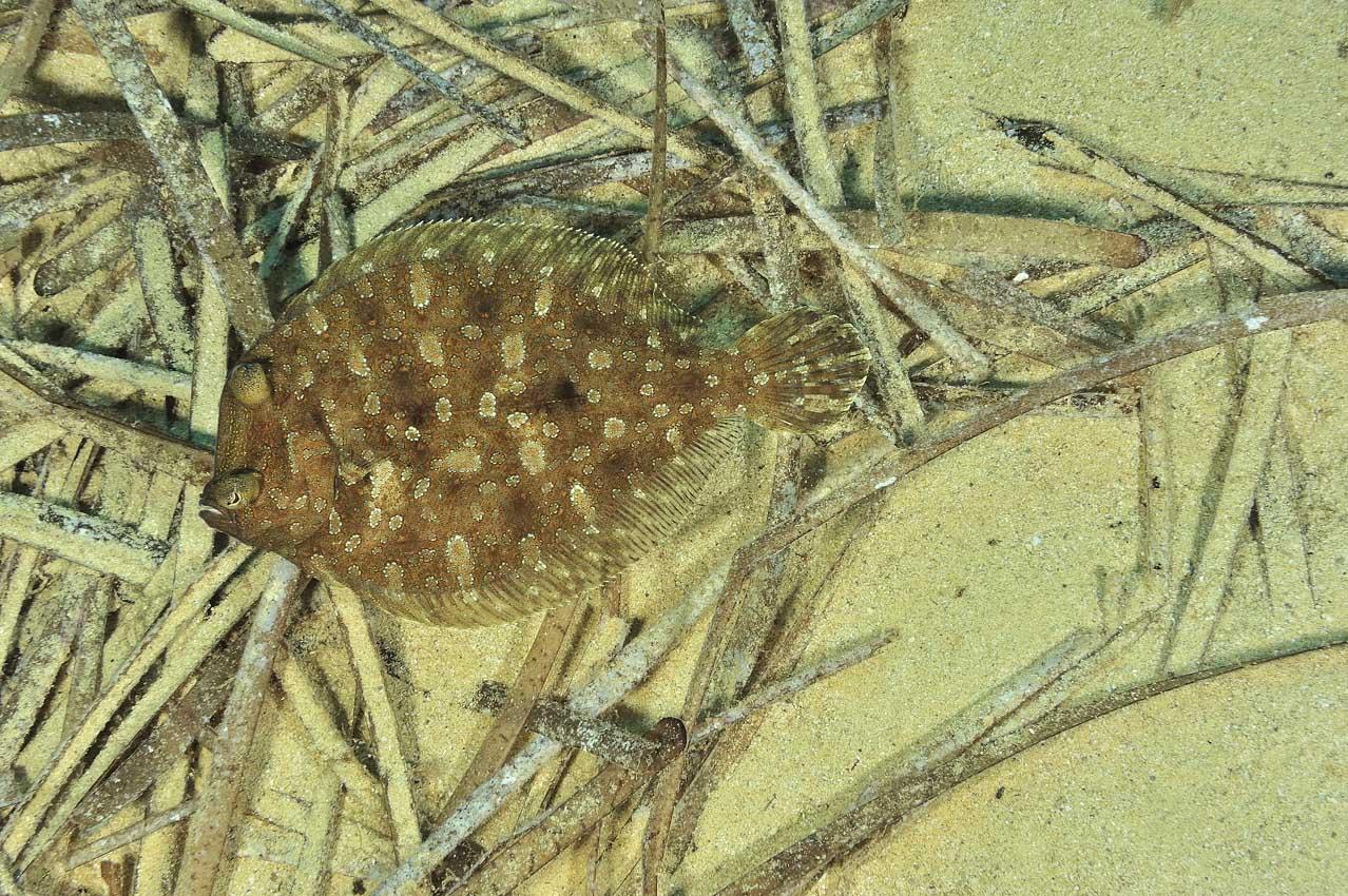 Un rambou ou rhambou de Méditerranée mâle - A male wide-eyed flo