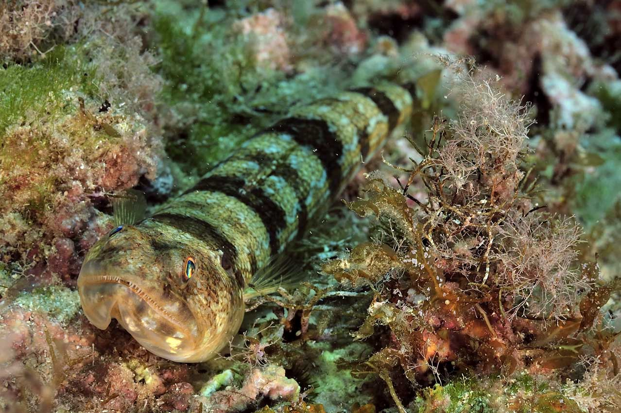 Un poisson-lézard rayé - A bluestriped lizardfish