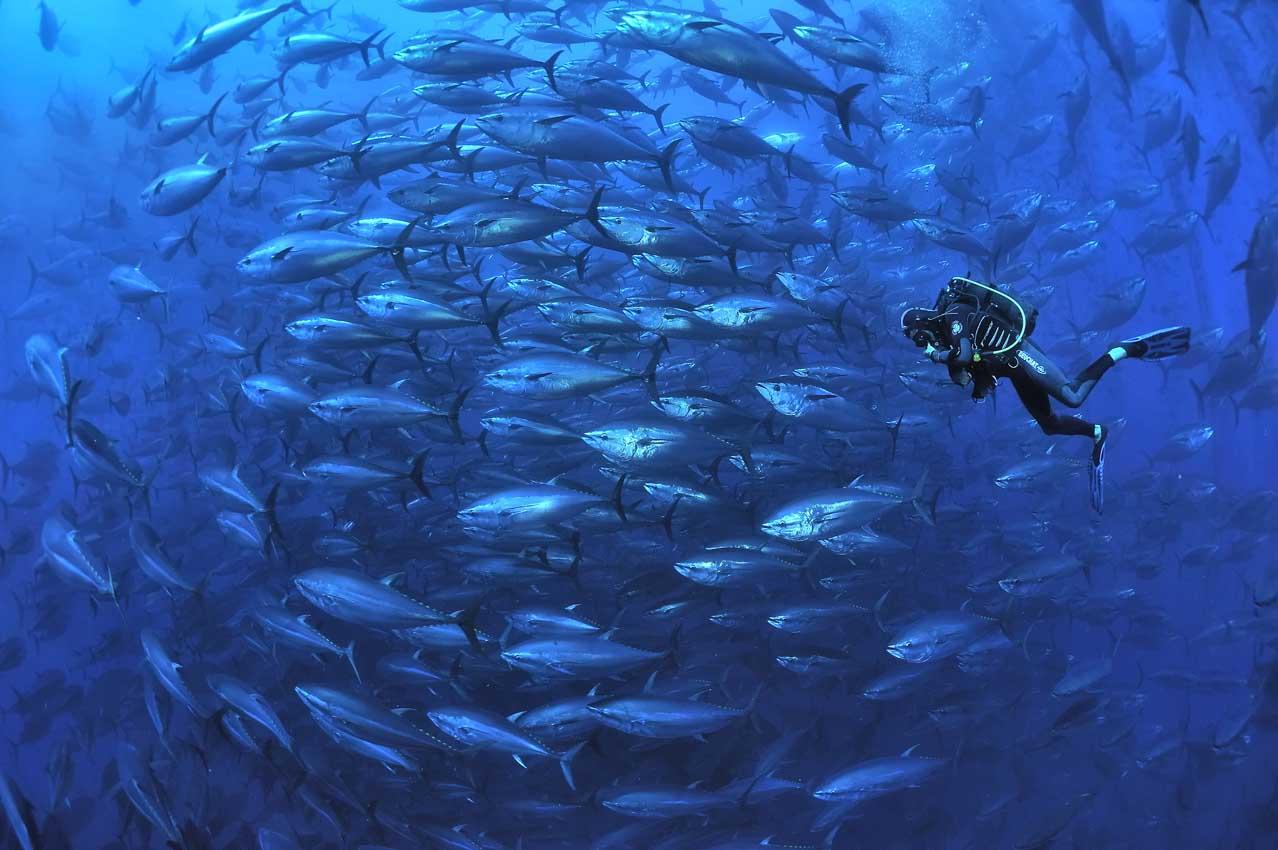Plongeur et thons rouges dans une cage - A diver and bluefin tun