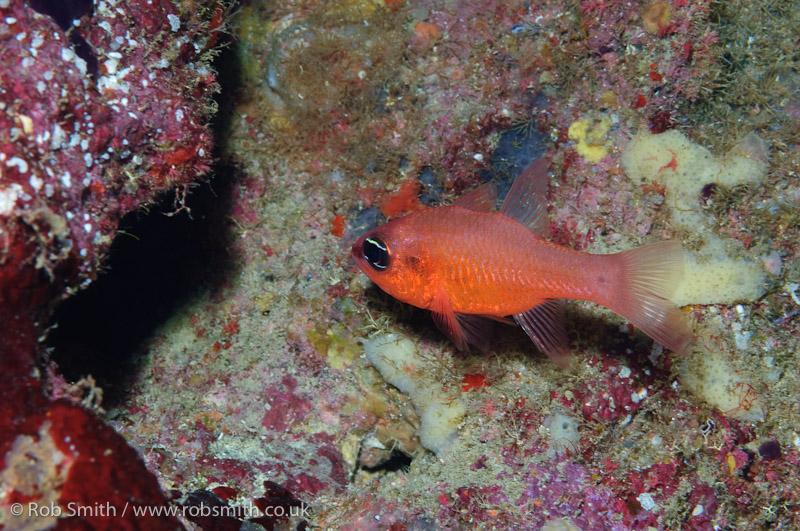 xlendi tunnel gozo cardinal fish