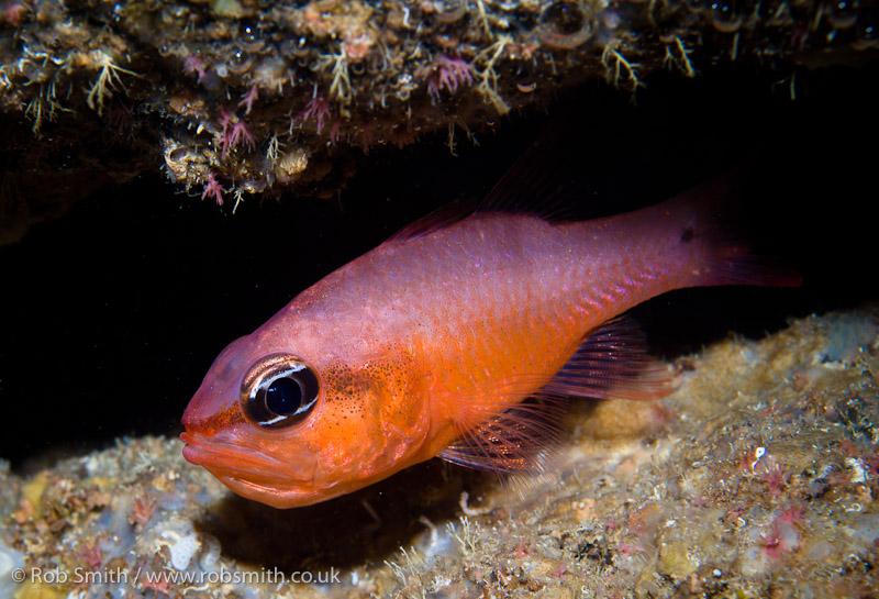 xlendi tunnel gozo cardinal fish close