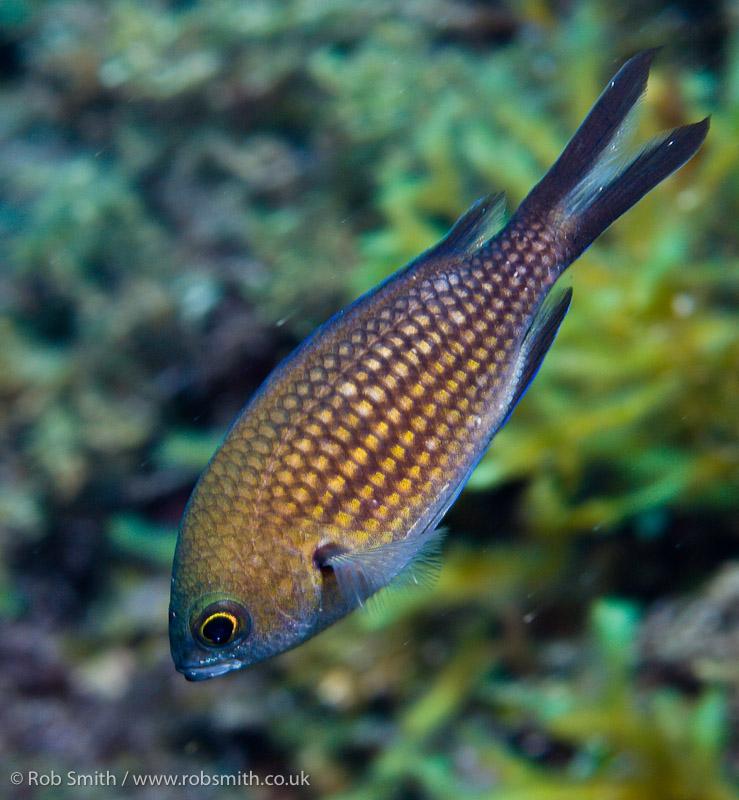 xlendi tunnel gozo damsel fish