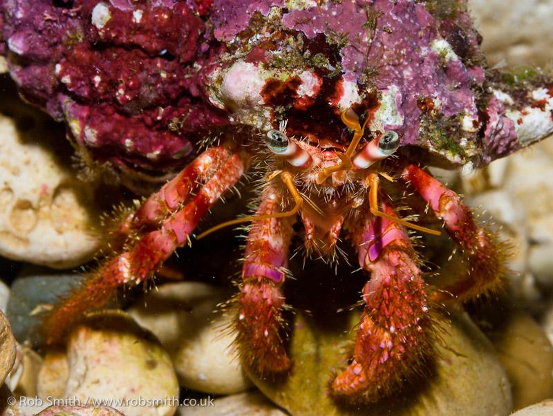 xlendi tunnel gozo hermit crab